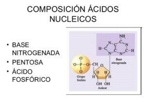 Composición de los nucleótidos y sus funciones