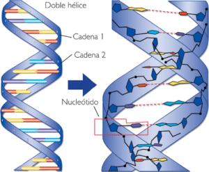 Estructura de los ácidos nucleicos.