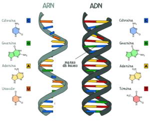 Tipos de ácidos nucleicos y sus funciones