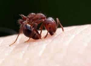 ácido fórmico en su forma natural. hormigas