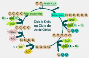 Qué es el ácido málico